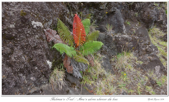 Halemau'u Trail: 'Ama'u adorns wherever she lives