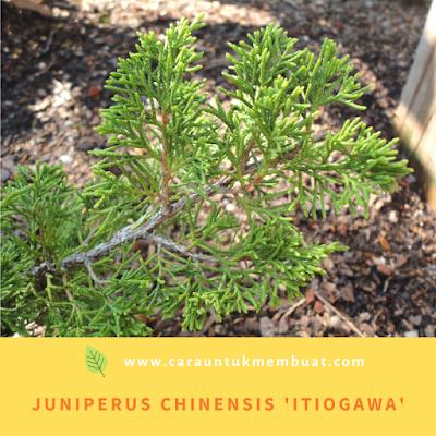 Juniperus Chinensis 'Itiogawa'