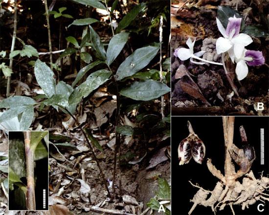 Newmania orthostachys