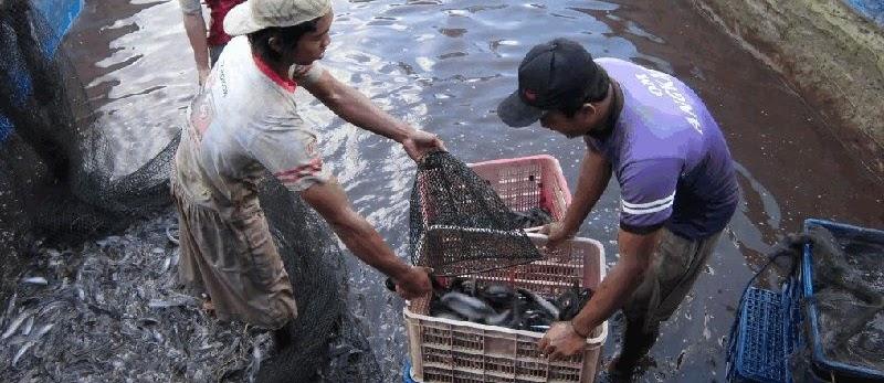 Cara Terlengkap Budidaya Ikan Lele di Kolam Tembok