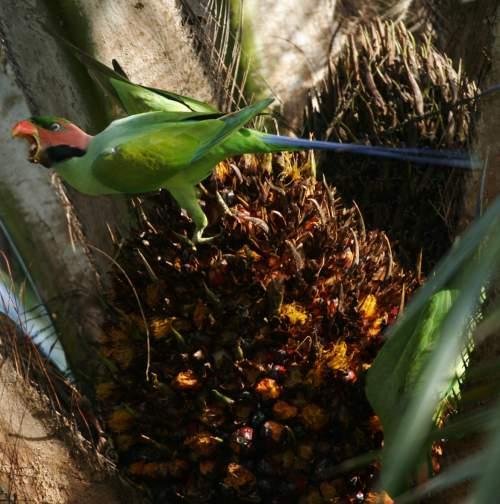 Birds of India - Photo of Long-tailed parakeet - Psittacula longicauda