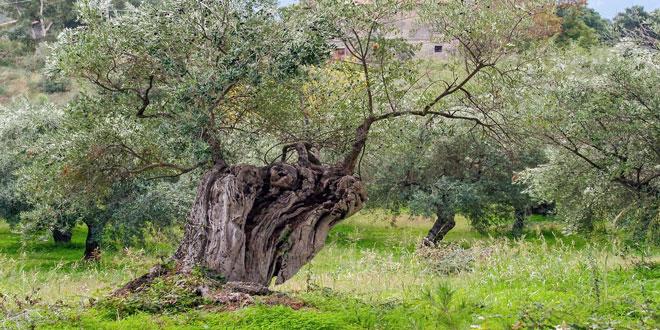 Εγκαταλείπεται η καλλιέργεια ελιάς στην Ελλάδα