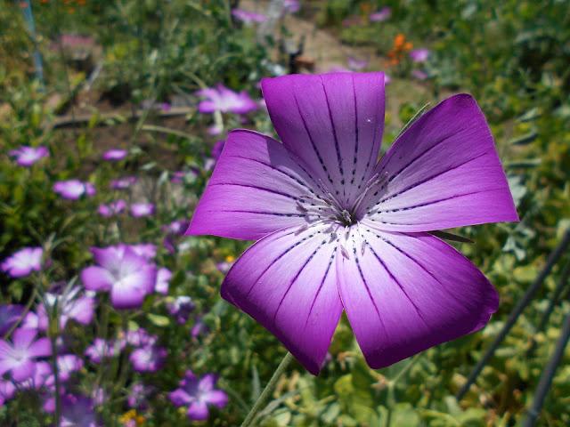 紫色のムギセンノウ(アグロステンマ)