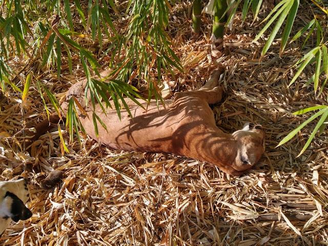 Com espécie ameaçada de extinção, onça-parda é encontrada morta com marca de tiro em Rancharia
