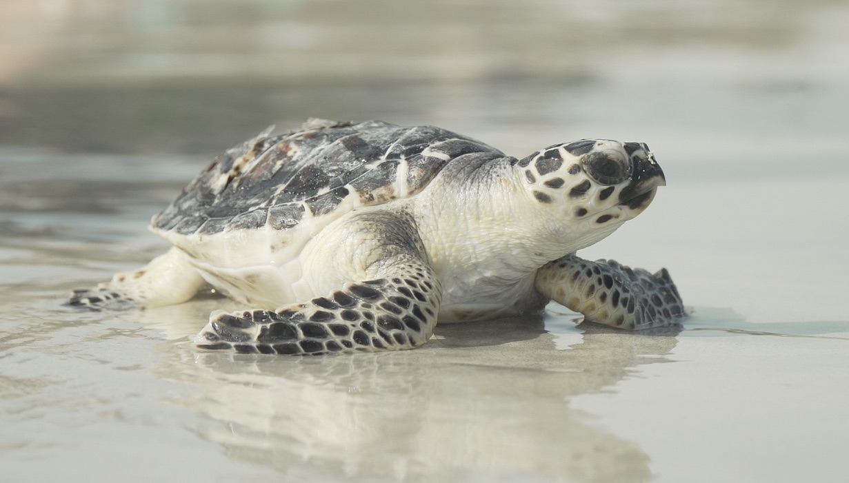 Emirates Global Aluminum rescues critically-endangered Hawksbill turtles
