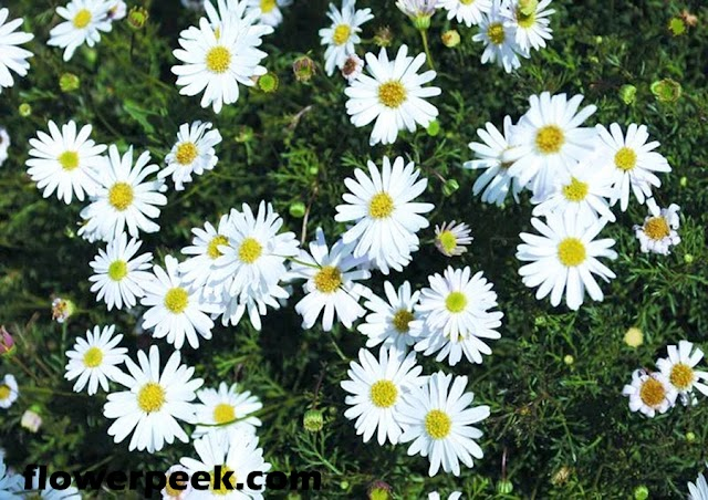 How to grow Swan River Daisy from seed