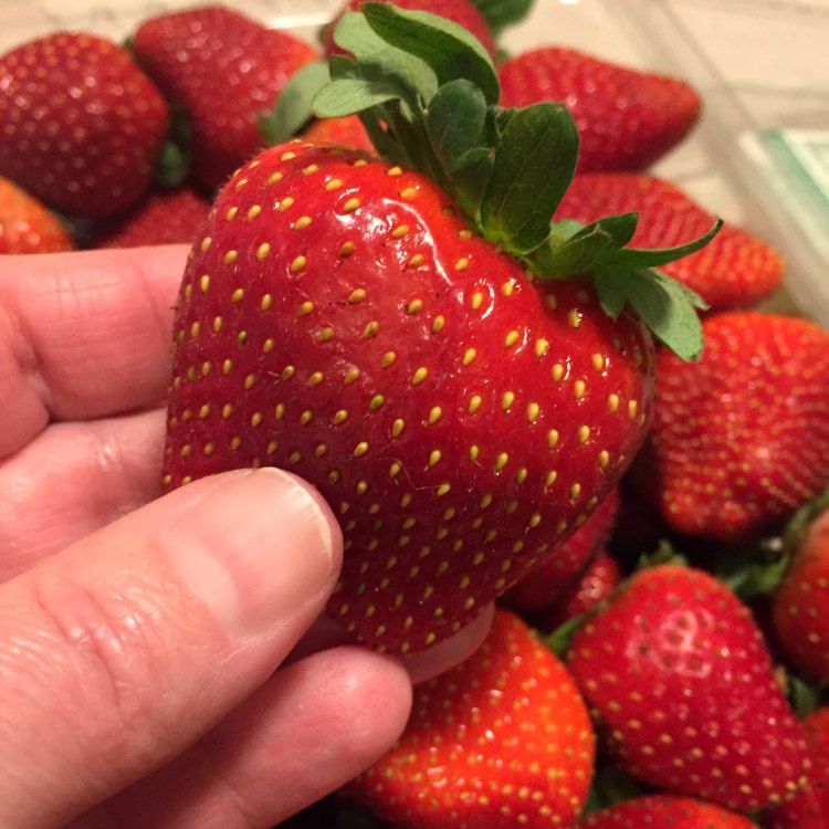 Large ripe strawberry being held above a package of large ripe strawberries for Easy Strawberry and Cream Pie by Renee's Kitchen Adventures