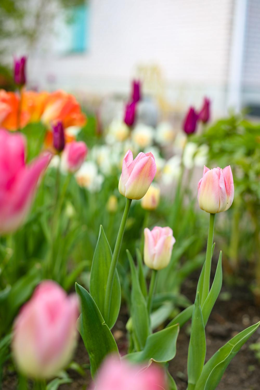 tulppaanit-puutarhassa-100outdoor