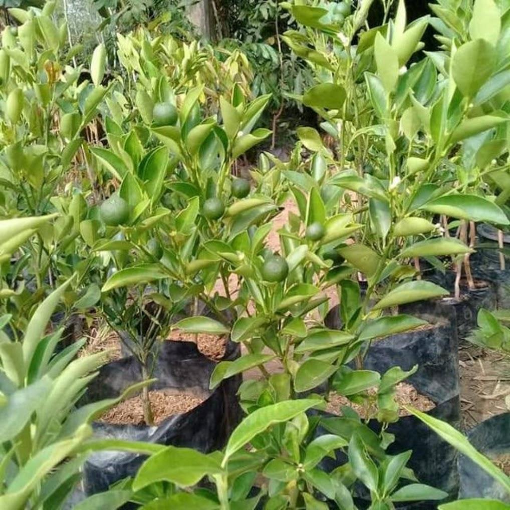Bibit Jeruk Limo Jawa Barat