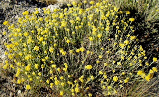 https://fr.wikipedia.org/wiki/Immortelle_commune