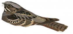 Caprimulgus andamanicus
