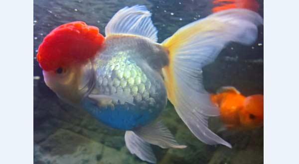 Jenis Ikan Mas Koki Red Cap