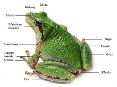 Anatomi hewan amfibi - berbagaireviews.com
