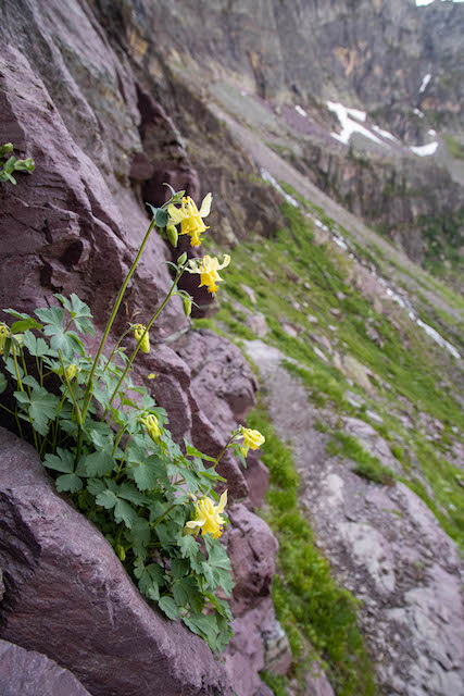 Yellow Columbine in Glacier Basin on the trail to Sperry Glacier