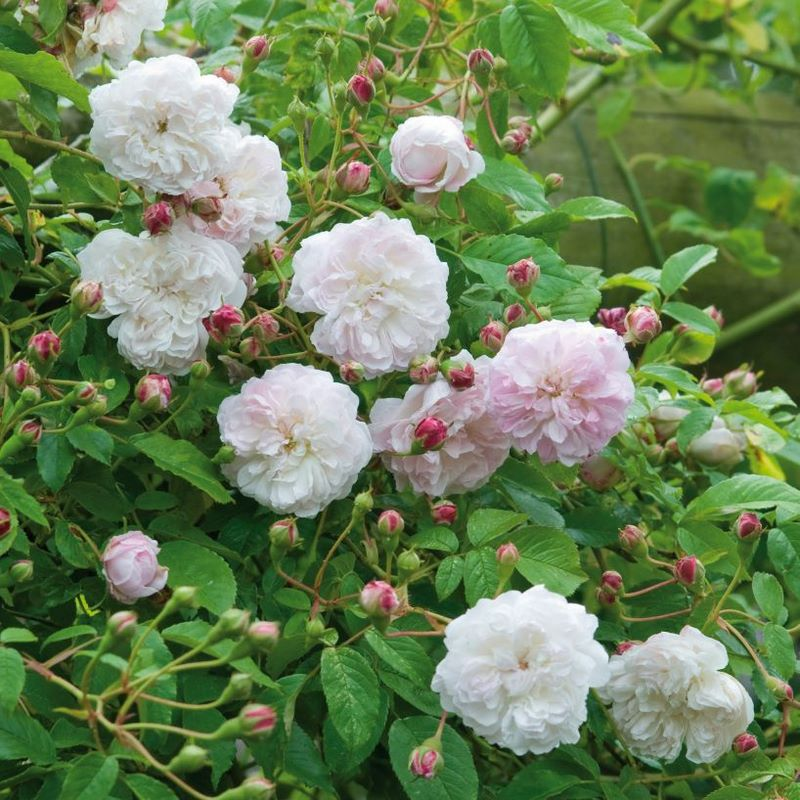 Rosa sarmentosa. Rambling Rose 'Princes Louise'