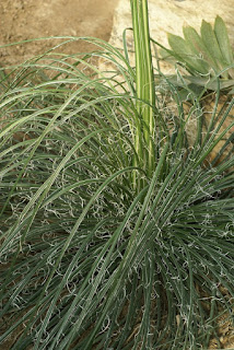 Dasylire à feuilles de jonc - Dasylirion longissimum - Dasylire à très longues feuilles