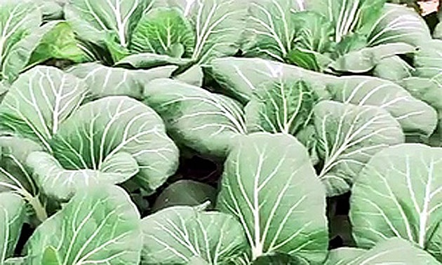 Couve (Brassica oleracea L.)