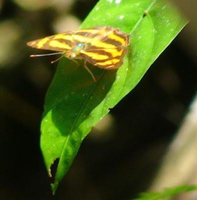 Common Lascar (Pantoporia hordonia)