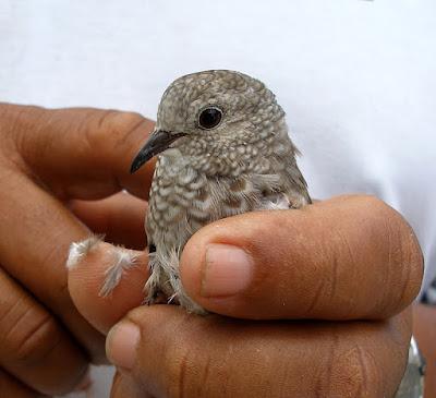 Park warden holding ground dove in hands.