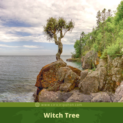 Witch Tree