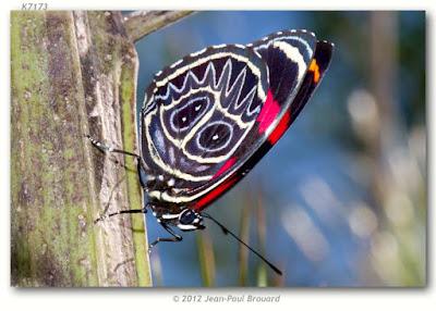 Mariposa ochenta zigzag (Callicore sorana)