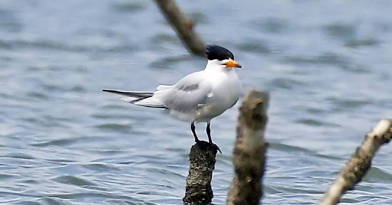 「神話之鳥」現蹤台南急水溪口 黑嘴端鳳頭燕鷗全球僅100隻