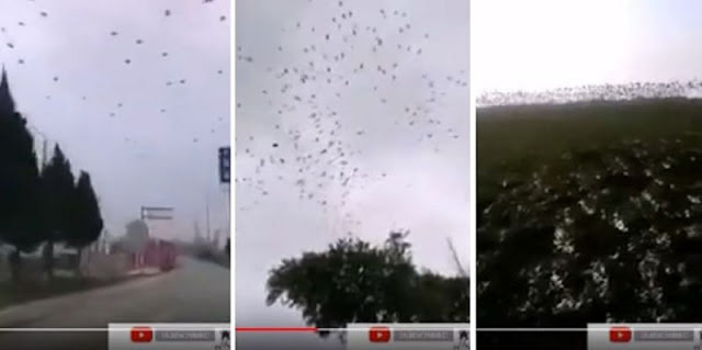 Kawanan Besar Burung Gagak dan Nyamuk Raksasa Terlihat Sekitar Pusat Virus Corona