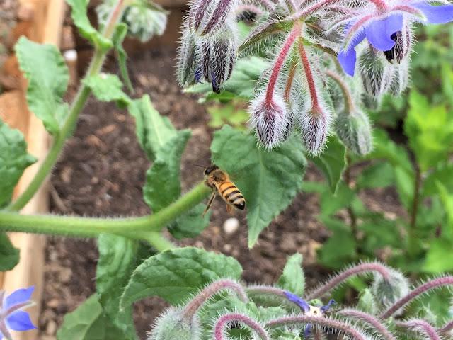 Biene beim Borretsch
