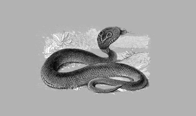 Bild Kobra