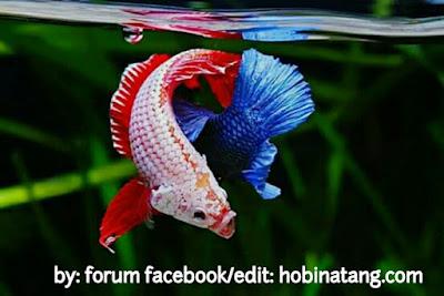 Cara Budidaya Ikan Cupang Hias Yang Benar (Khusus Pemula)
