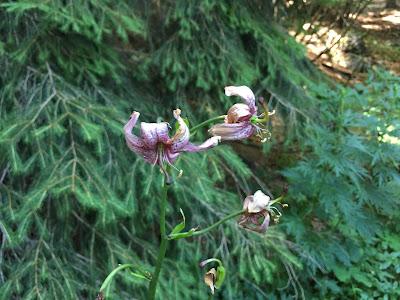 Lilium martagon – Martagon Lily, Turk's Cap Lily (Giglio a turbante).
