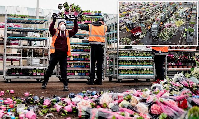 """صادرات الزهور في هولندا الأكثر تضرراً بسبب """"كورونا"""""""