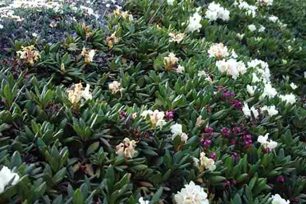 (3) Rhododendron Blooming in Snow