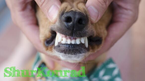 Cachorro que edad dientes tiene dientes limpios Cachorra ShurKonrad