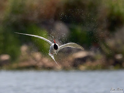 Acrobatic Tern