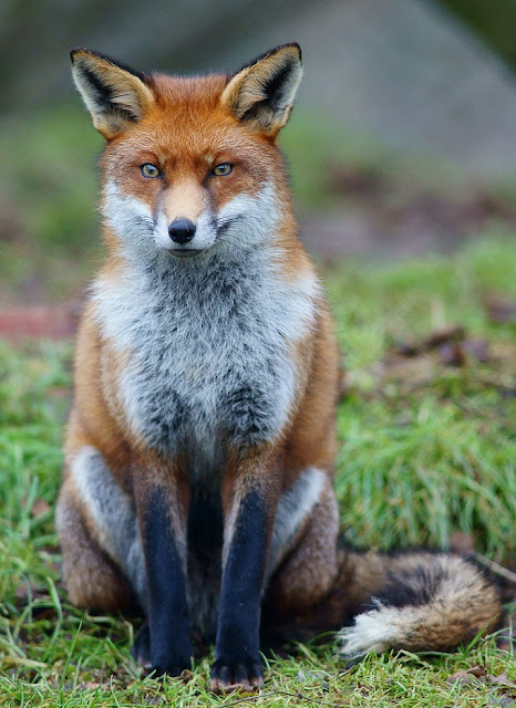 Sequenced fox genome hints at genetic basis of behaviour