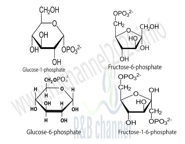 اهم الاسترات الفوسفورية في السكريات الاحادية