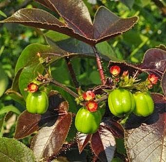 Jarak Wulung (Jatropha gossypifolia L.)