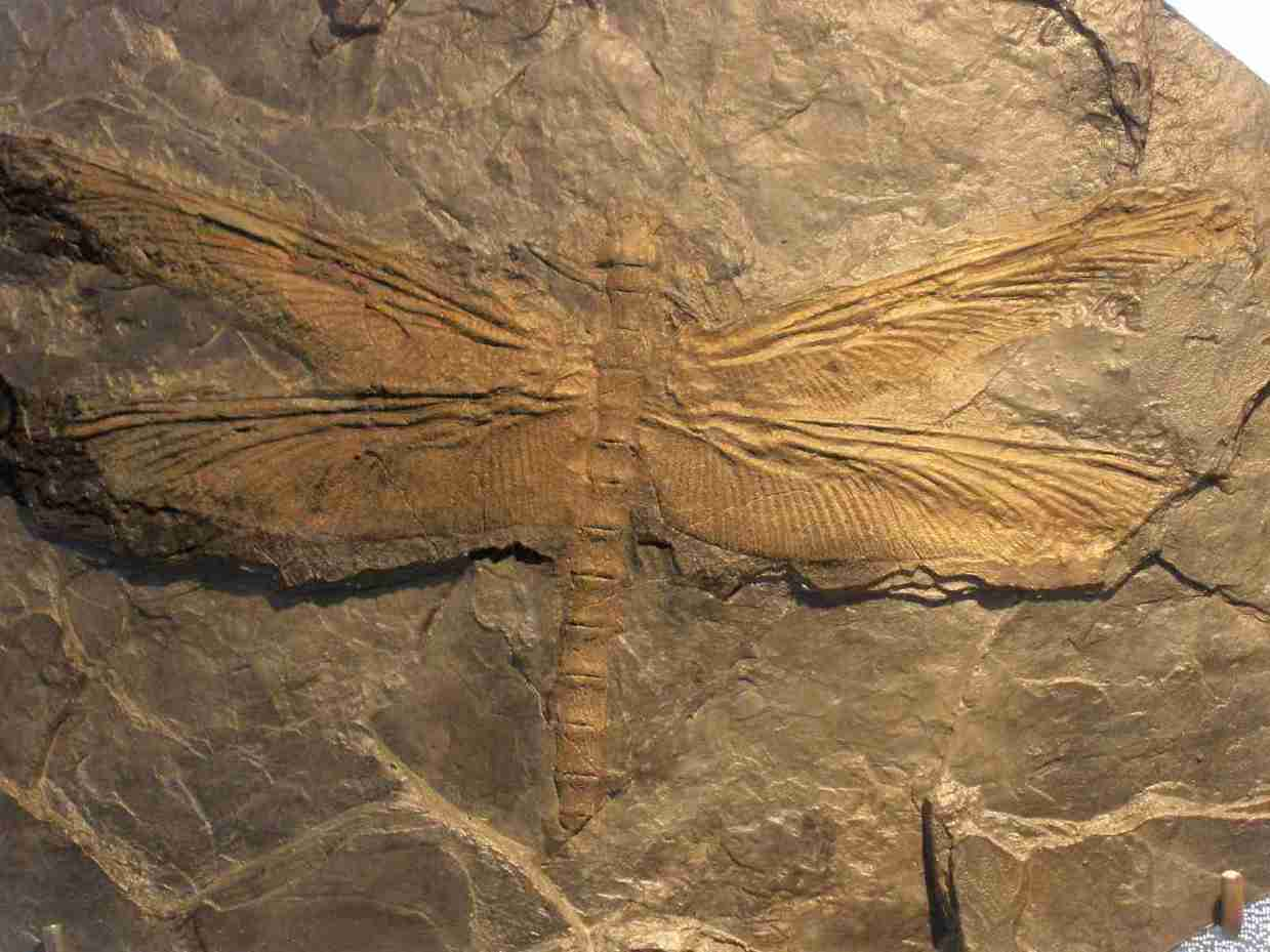 the largest insect ever existed was a giant dragonfly