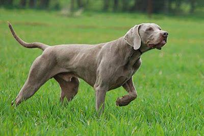 Perro de muestra
