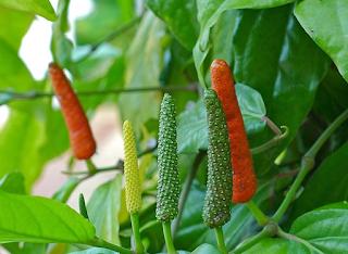 Tanaman cabe jawa sebagai obat tradisional
