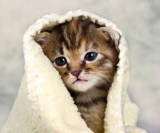 jenis kucing terkenal di indonesia