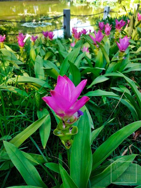 Kurkuma wąskolistna (Curcuma alismatifolia) - ostryż wąskolistny, ozdomne odmiany, ozdobna kurkuma, rośliny dekoracyjne w domu, uprawa, ciekawe odmiany, ciekawostki, interesujące rośliny egzotyczne do uprawy w mieszkaniu. Kimono Rose, Snow White, Chiang Mai Pink. Zingiberaceae, kwiaty, kwiatostan, tulipan
