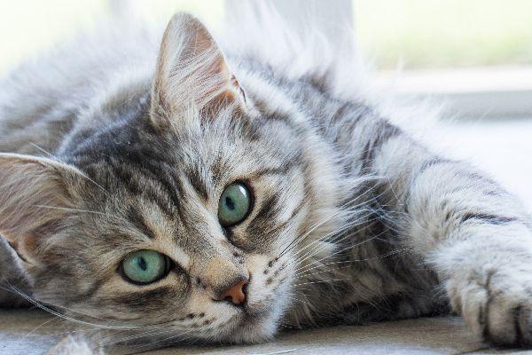 chaton-tigre-gris