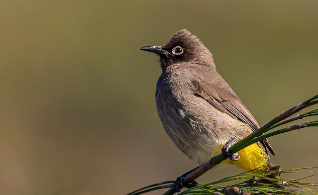 Perched Cape Bulbul Bird Kirstenbosch Photographer Vernon Chalmers