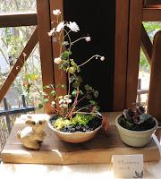 山野草盆栽の完成作品(台湾バイカカラマツ フイリユキノシタ)