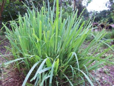 Herbal Medicine - Plant , Trees & Fruit: Tanglad or Lemon ...