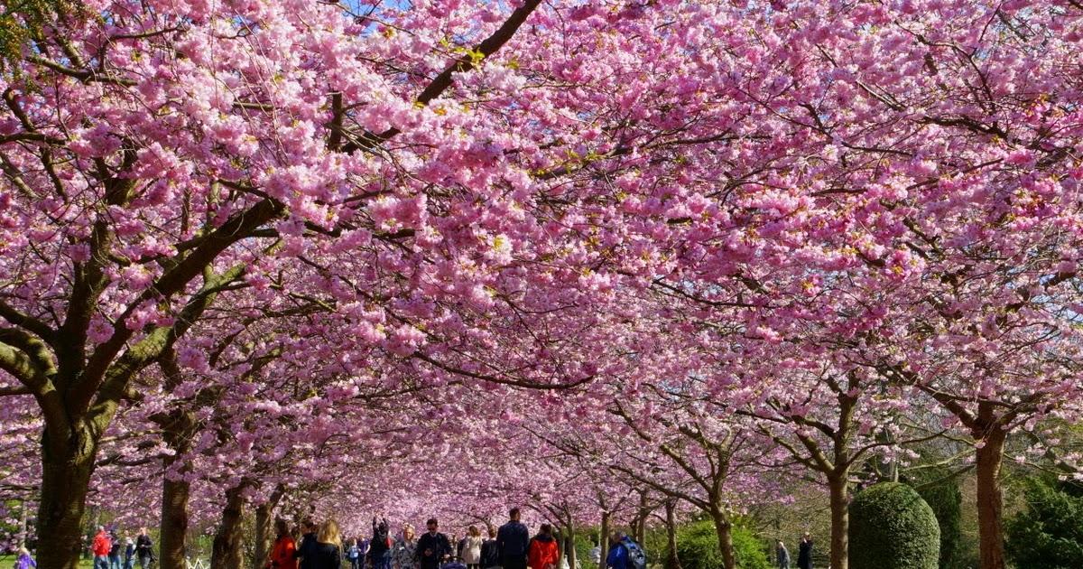 japansk kirseberg træ