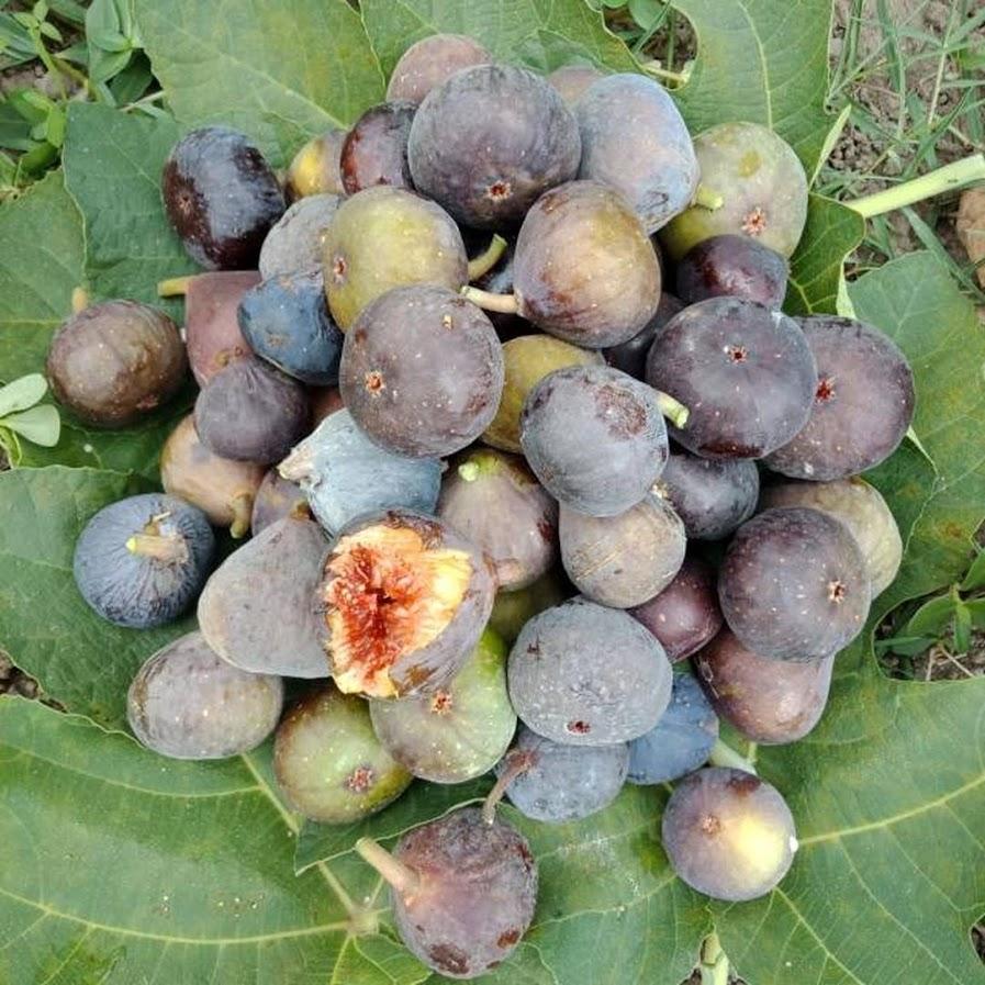 Fresh cangkok bibit buah tin brown turkey isi 10 Papua Barat