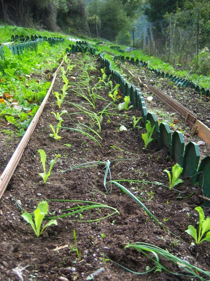 Asociación de: puerros, cebolletas, escarolas. Estos son los plantones que han sobrado al plantar otros bancales. Aún queda hueco, por lo que es posible que pongamos alguna otra cosa.
